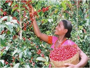 A woman harvesting coffee in Ethiopia. Photo: Buna Oromia