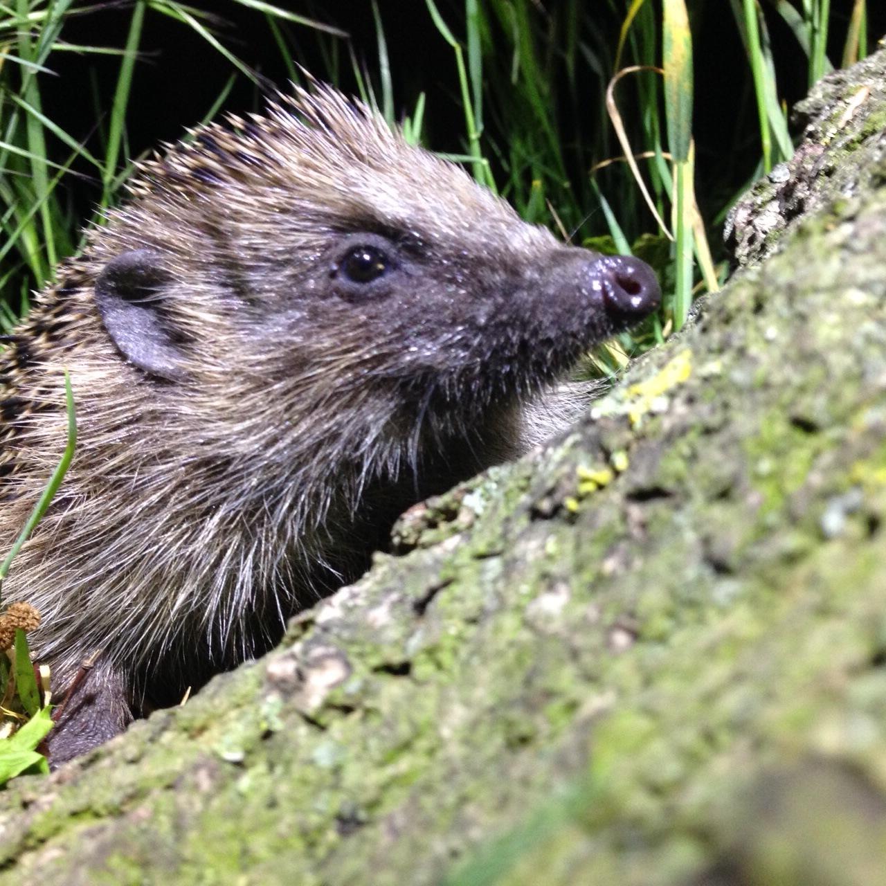 Bucking the citywide decline: a hardy hog. Photo: Jonathan Dean