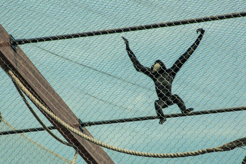 Gibbon enclosure at ZSL