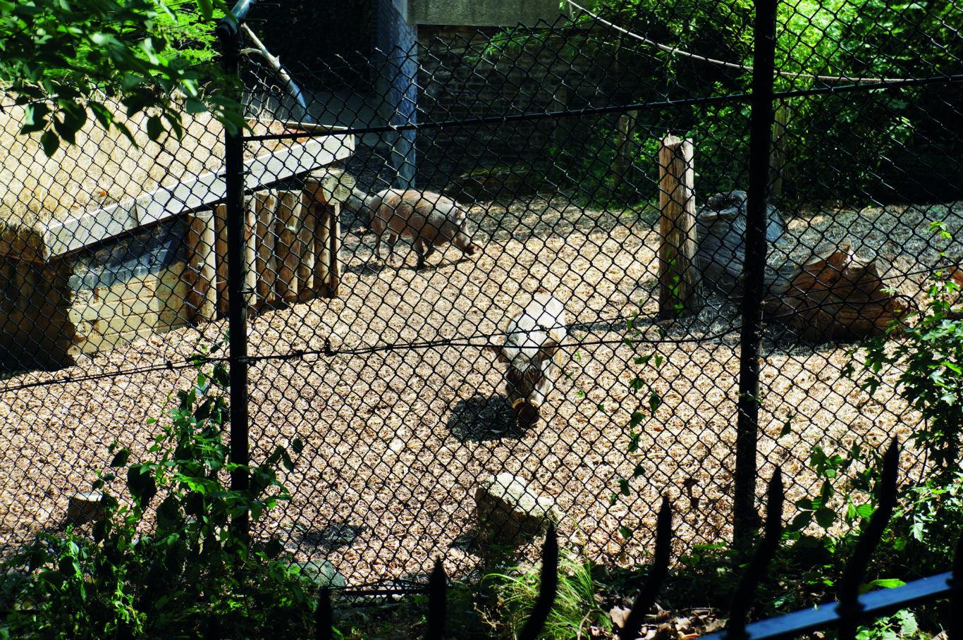 Warthogs at London Zoo